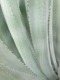 Modello della foglia del cactus Fotografia Stock Libera da Diritti