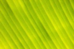 Modello della foglia della banana per le strutture ed il fondo di progettazione Immagini Stock