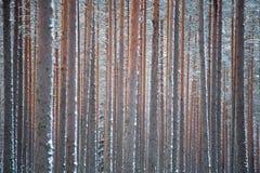 Foresta del pino di inverno Fotografie Stock