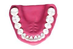 Modello della mascella con i denti umani immagine stock