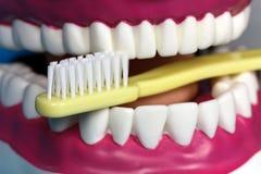 Modello della mascella con i denti umani fotografie stock