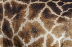Modello della pelle del primo piano della giraffa Fotografia Stock