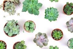 Modello della pianta mista dei succulenti in vaso su fondo bianco, o Immagini Stock