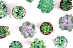 Modello della pianta mista dei succulenti in vaso su fondo bianco, o Immagine Stock