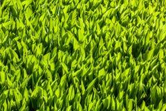 Modello della pianta verde fotografie stock libere da diritti