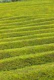 Modello della piantagione di tè sull'isola di Miguel del sao, Azzorre, Portogallo Immagine Stock Libera da Diritti