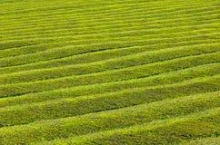 Modello della piantagione di tè sulle isole delle Azzorre, Portogallo Fotografia Stock