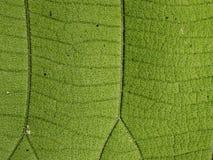 Modello delle foglie verdi del tek fotografia stock libera da diritti