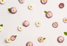 Modello delle margherite bianche e rosa Fotografie Stock