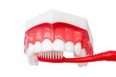 Modello dentale dei denti Fotografia Stock