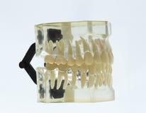 Modello dentario dei denti Fotografia Stock