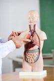 Modello At Desk del professor Pointing At Anatomical Fotografie Stock