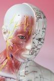 Modello di agopuntura Fotografie Stock Libere da Diritti