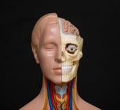 Modello di anatomia della testa umana Fotografie Stock