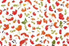 Modello di autunno dalla sorba, dalle ghiande, dai fiori e dai vari frutti isolati sulla vista superiore del fondo bianco Designa Fotografia Stock Libera da Diritti