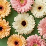 Modello di fiore dalle gerbere su fondo verde di carta Immagine Stock Libera da Diritti