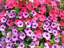 Modello di fiori viola e rosa della petunia fotografia stock