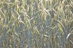 Modello di grano nel campo di estate Fotografie Stock