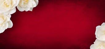 Modello di lusso per progettazione di carta con i fiori delle rose bianche immagine stock