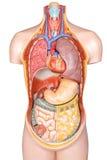 Modello di plastica del corpo umano con gli organi isolati su backgroun bianco Fotografia Stock