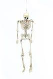 Modello di scheletro appeso su fondo bianco Fotografia Stock