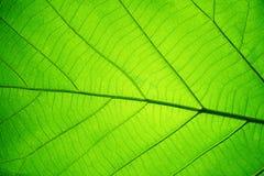 Modello di struttura della foglia per il fondo della molla, struttura delle foglie verdi, concetto di ecologia immagini stock libere da diritti