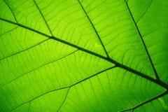 Modello di struttura della foglia per il fondo della molla, struttura delle foglie verdi, concetto di ecologia fotografie stock