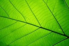 Modello di struttura della foglia per il fondo della molla, struttura delle foglie verdi, concetto di ecologia immagine stock