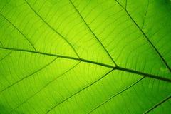 Modello di struttura della foglia per il fondo della molla, struttura delle foglie verdi, concetto di ecologia fotografia stock