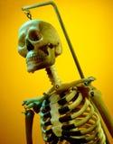 Modello di uno scheletro umano Fotografia Stock
