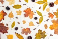 Modello fatto delle foglie, dei coni e delle ghiande secchi sul backgrou leggero Fotografie Stock