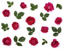 Modello floreale fatto dei fiori e delle foglie verdi della rosa di rosa isolati su fondo bianco Disposizione piana immagine stock