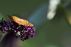 Modello giallo del leopardo della farfalla Fotografia Stock Libera da Diritti