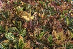 Modello: Il Croton lascia il fondo fotografie stock libere da diritti