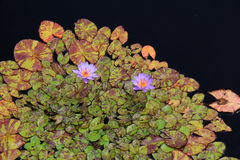 Modello interessante sui travertini, con i fiori graziosi messi nel mezzo dello stagno Fotografie Stock Libere da Diritti