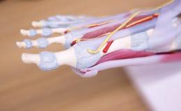 Modello medico di anatomia del piede Fotografie Stock Libere da Diritti