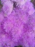 Modello naturale lilla Fotografie Stock