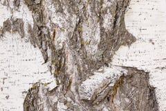Modello naturale sulla vecchia corteccia di betulla nociva Crepe profonde con separazione dello strato superiore della corteccia  immagine stock libera da diritti