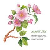 Modello per la cartolina d'auguri con i fiori di ciliegia dell'acquerello Fotografie Stock