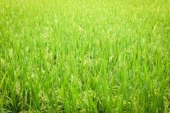 Modello senza cuciture del giacimento del riso Fotografia Stock Libera da Diritti
