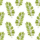 Modello senza cuciture dell'acquerello con le foglie dell'acacia Fondo disegnato a mano per l'imballaggio, tessuto di vettore Fotografia Stock Libera da Diritti