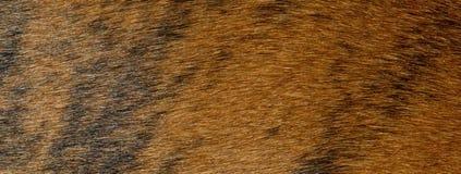 Modello striato e testo della pelliccia del cane del pugile del fondo Immagini Stock Libere da Diritti