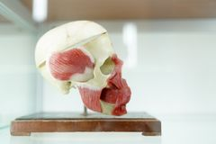 Modello umano del cranio di anatomia su fondo bianco Parte del modello del viso umano con il sistema dell'organo Concetto medico  immagine stock