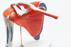Modello umano della spalla in ufficio medico immagini stock