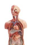Modello umano di anatomia. Fotografia Stock