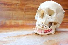 Modello umano di anatomia del cranio Fotografie Stock Libere da Diritti