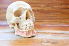 Modello umano di anatomia del cranio Fotografia Stock