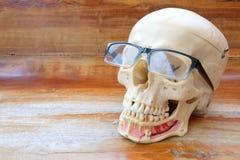 Modello umano di anatomia del cranio Immagine Stock