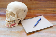 Modello umano di anatomia del cranio Immagini Stock