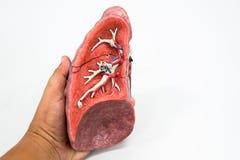 Modello umano di anatomia del polmone Fotografia Stock Libera da Diritti